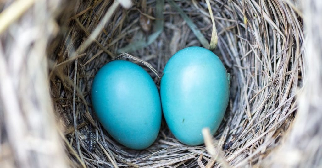 Eggs in nest ready to crack open and release potential
