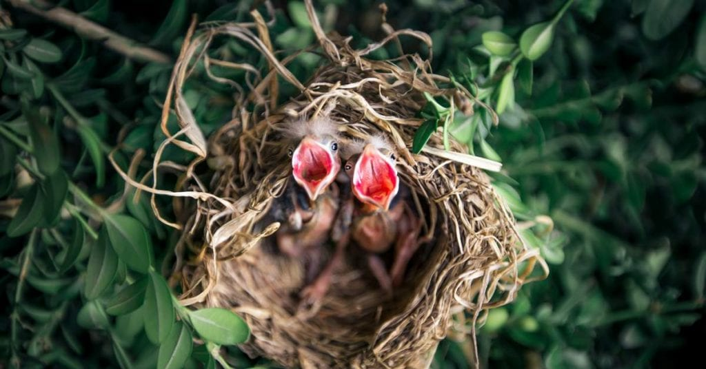 Baby Birds Screaming to be Fed - Feed your Purpose with Passion